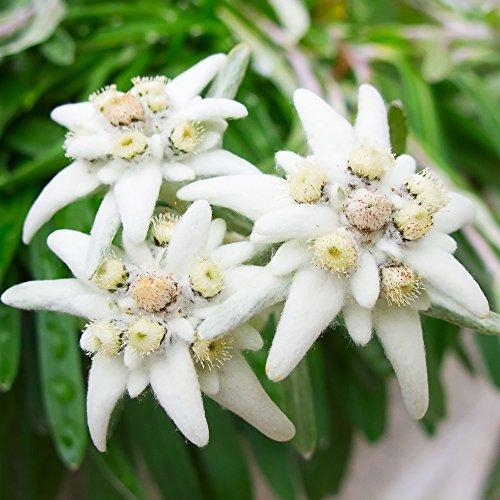 Edelweiss Samen - Alpen-Edelweiß