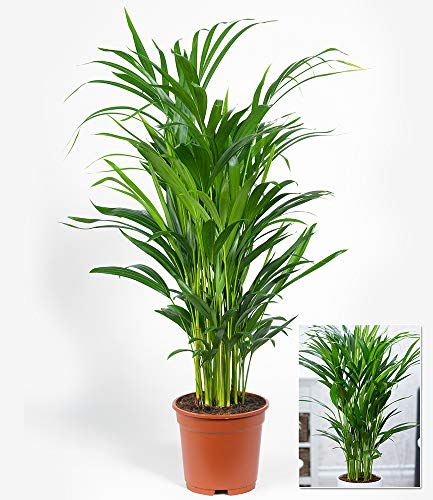 BALDUR-Garten Areca Palme ca. 50 cm hoch,1 Pflanze Zimmerpalme Goldfruchtpalme Grünpflanze - 3