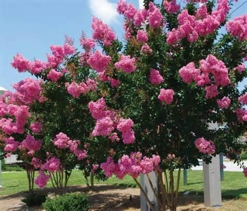 Pinkdose 15 Seeds Lagerstroemia Indica (Crape Myrtle Seeds) Bonsai Tree