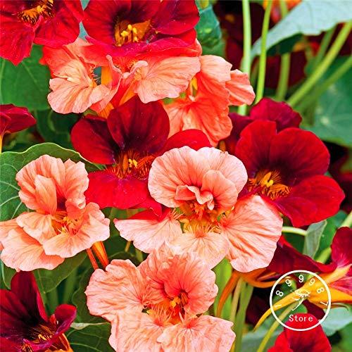Sumpf frisch 100 Stück Tropaeolum Kapuzinerkresse Samen zum Pflanzen Rosa rot