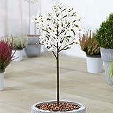 Magnolia 'Stellata' Tree | Premium Potted Trees for Small Gardens Border Patio Plants | 2-3ft