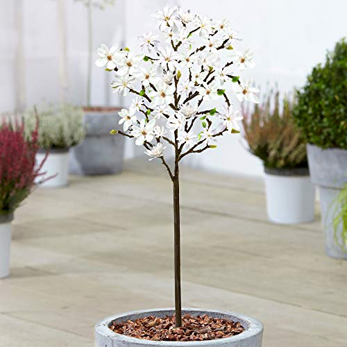 Magnolia 'Stellata' Tree | Premium Potted Trees for Small Gardens Border Patio Plants | 2-3ft