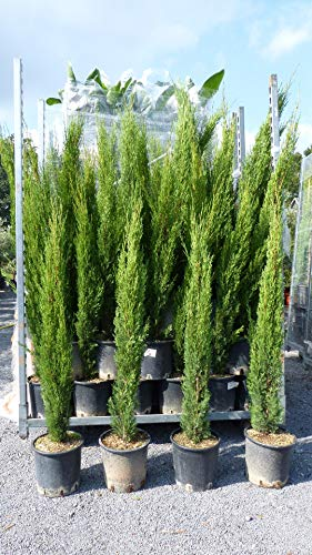 3 x Mittelmeerzypresse Cupressus Sempervirens \'Totem\' 130-150 cm Toskana Zypresse