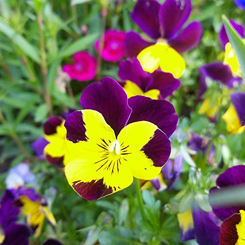 CAheadY Stiefmütterchen Samen, Wild Stiefmütterchen Samen Pflanze Hausgarten Bonsai Viola-Tricolor Flower DIY Dekor Stiefmütterchen Samen