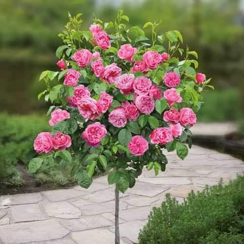 Qulista Samenhaus - Duftend 20pcs Rarität öfterblühend Hochstämmige Rose Stammrose, Edelrose Beetrose Blumensamen Mischung winterhart mehrjährig für Garten und Terrasse