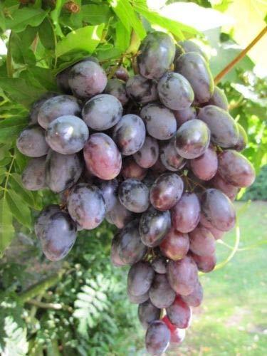 Vitis vinifera Lagrein, bläulich-rote fruchtige Trauben, Züchtung aus Südtirol