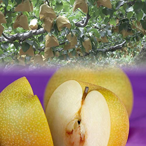 広岡農場の秋栄(あきばえ)梨 2.2kg詰(5〜6玉入) 鳥取県産 赤秀(ご贈答用)