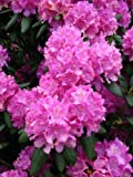Alpenrose Rhododendron Roseum Elegans 30 cm hoch im 2 Liter Pflanzcontainer