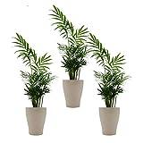 Zimmerpalmen-Trio mit Keramik-Blumentopf 'Orchid cream' von Scheurich - 3 Pflanzen  und 3...