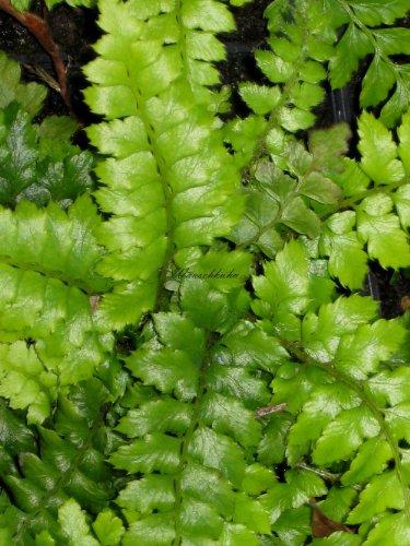 Staudenkulturen Wauschkuhn Polystichum polyblepharum - Japanischer Glanzschildfarn - Farn im 11cm Topf