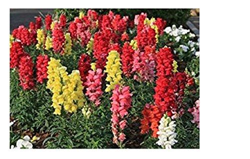 100 Graines semence fleur muflier des jardins grande taille gueule de loup antirrhinum majus nanum