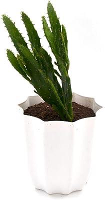 Plantmojo Cactus Nagfani, in Plastic White Decagon Pot