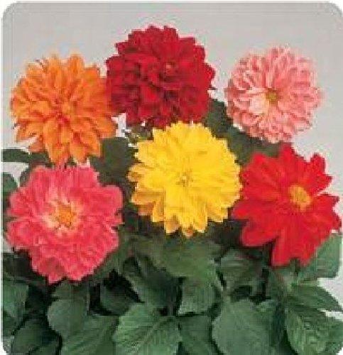 Il vous suffit de graines de fleurs???Dahlia Figaro M?lange 25?graines de