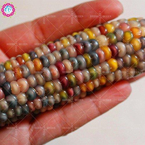 11.11 grande promotion! 20 pcs/lot de graines de maïs coloré semences de légumes verts en pot dans le jardin et la maison des graines de plantes annuelles d'herbes fraîches 1