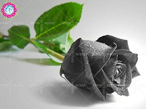 Nouveau rares hybrides scientifiques variété !!! 200 pcs/sac noir rose plante graines en pot Maison et jardin cour 95% survivent bonsaïs fleur 3