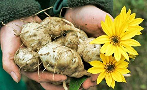 Tomasa Samenhaus - Bio Topinambur Topstar Samen Delikatess Gemüsesamen gut Geschmack winterhart mehrjährig Gemüse Saatgut für Balkon, Garten