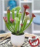 BALDUR-Garten Schlauchpflanze'Jutathip Soper', 1 Pflanze Fleischfressende Pflanze