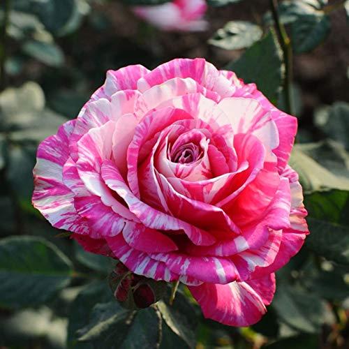 Rose Seeds 100+ (Rosa rugosa Thunb) Strisce bianche e rosa Easy Grow Fiori biologici Piante fresche Semi per piantare Giardino Esterno Interno