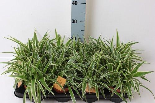 Chlorophytum comosum Variegatum 25 cm LUFTREINIGEND Grünlilie Brautschleppe Zimmerepflanze