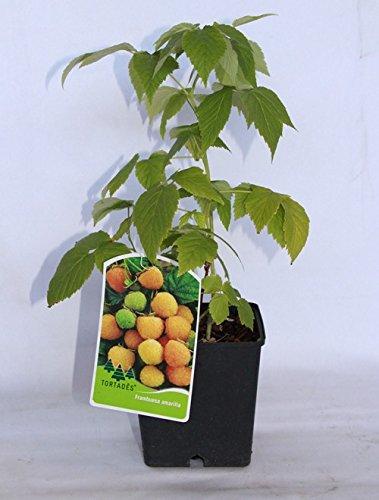 Frambuesa amarilla (maceta 2 litros) - Arbusto frutal vivo