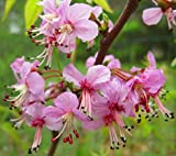 Mexican Buckeye Tree, Ungnadia Speciosa, 8-12'' Tall Potted Plant, Spectacular Flowers,plants