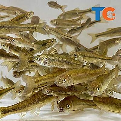 Toledo Goldfish Live Black Fathead Minnows – Live Tuffies or Crappie Minnows – USA Born and Raised - Live Arrival Guarantee (Small, 1000 Fish)