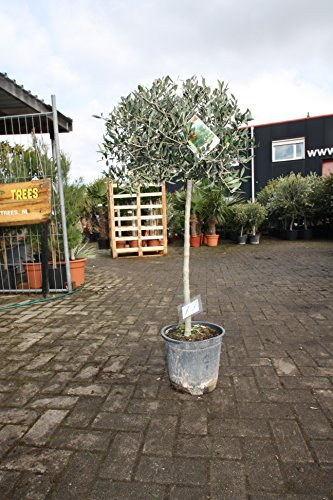 Hochstämmiger Olivenbaum 140cm