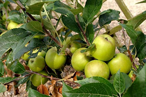 Ferry Granny Smith Apfelbäume - 10 Samen- Ernte Grün & Crisp Äpfel