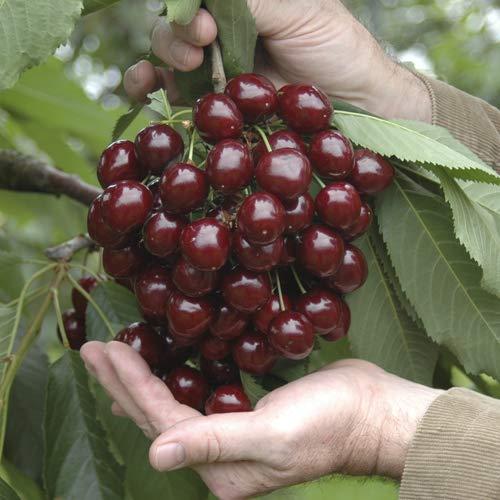 YouGarden Sweet Cherry Stella Fruit Tree, 5 Litre Pot