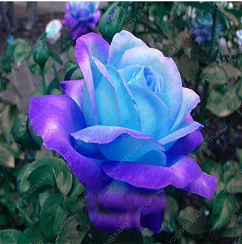 200pcs 24 Type de Rose Seeds Rare Belle semences de fleurs Balcon et cour d'ornement Bonsai Graines croissance naturelle Pour jardin gris clair