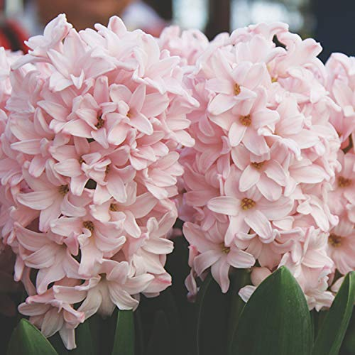 UtopiaSeeds 5 Pink Elephant Hyacinth Bulbs - Pink Hyacinth - Grow Beautiful and Fragrant Hyacinths