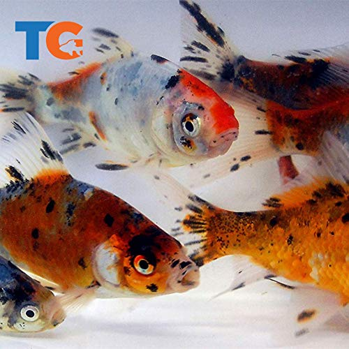 Toledo Goldfish Live Shubunkin Goldfish for Ponds, Aquariums or Tanks – USA Born and Raised – Live Arrival Guarantee (3 to 4 inches, 10 Fish)