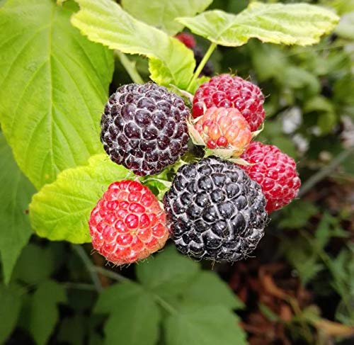 3er Set Himbeere exotisch schwarz Black Jewel Himbeeren Pflanzen süß - süßsauer im 2 L Topf