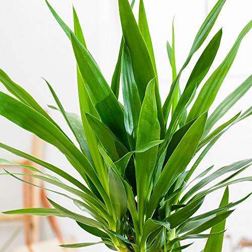 Yucca elephantipes | Palmlilie | Höhe 90-100 cm | Topf-Ø 21 cm