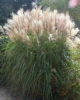 Silver Maiden Grass Miscanthus Sinensis Perennial Flower jocad (10 Seeds)