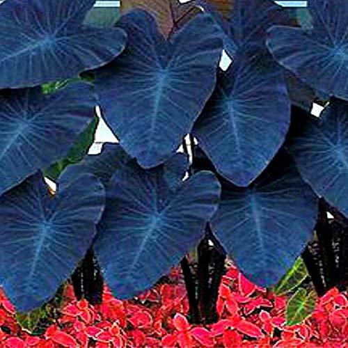Benoon Alocasia Seeds, 10 Stück/Beutel Alocasia Seeds Leicht Zu Züchten Seltene Elefantenohrförmige Blumentaropflanzen Gartensamen Für Den Innenhof Alocasia Seeds 2