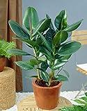 9 Semillas Ficus Elastica Árbol de goma (caucho) de la planta de fácil Cuidado de la Planta de interior