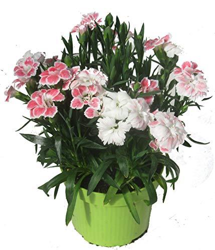 Dianthus caryophyllus weiß mit rot - Teneriffa-Nelke Duftpflanze im 11 cm Topf winterharte Staude für Zimmer und Freiland
