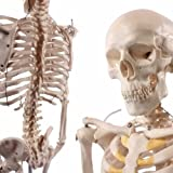 YYSDH Anatomical Skeleton Model,Half Life-Size Anatomical Human Skeleton Model 1/2 Life Size 85Cm Anatomically...