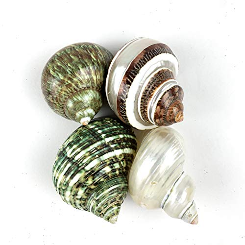 Worlds 4PC Assorted Large Hermit Crab Shells&Pearlized Turbo Shells 1-1/2'-3' Inch
