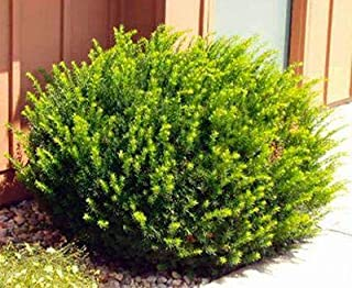Dark Green Spreading Yew Shrub (1 Gallon) - Densely Lush Evergreen Foliage Makes for an Excellent Low Hedge or Accent Plant.