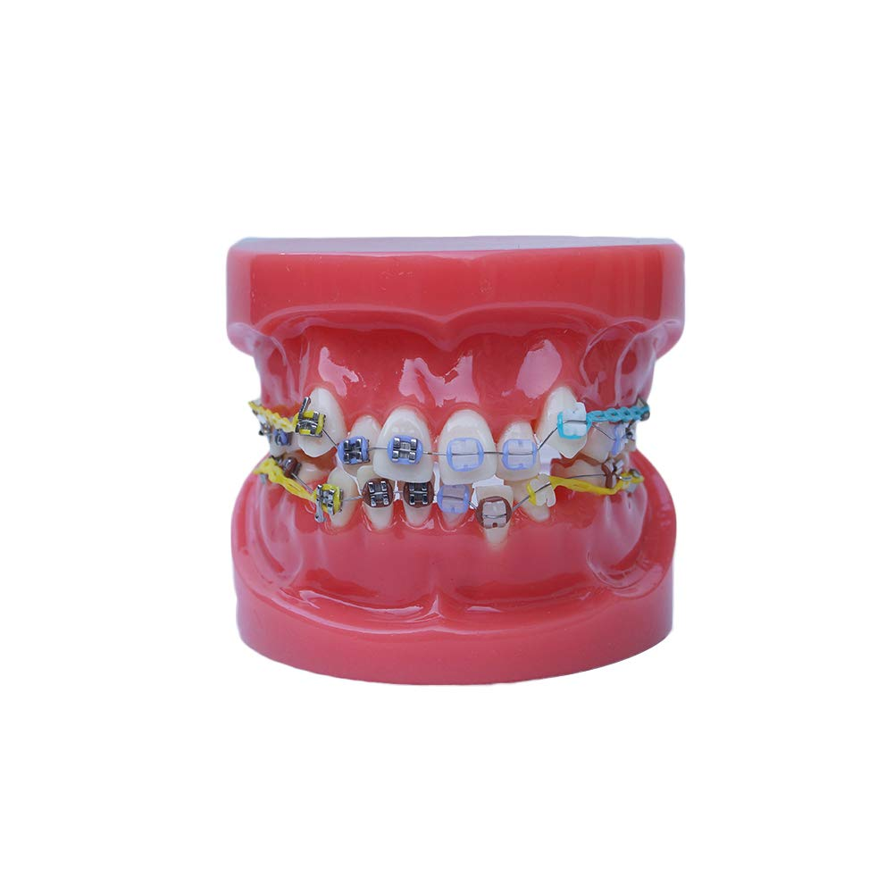 Sino Dental Typodont with Ranking integrated 1st place Braces Tulsa Mall Ha Model Orthodontic Teeth