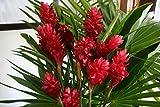 """Hawaiian RED Ginger Plant 2"""" Pot ~ Grow Hawaii"""