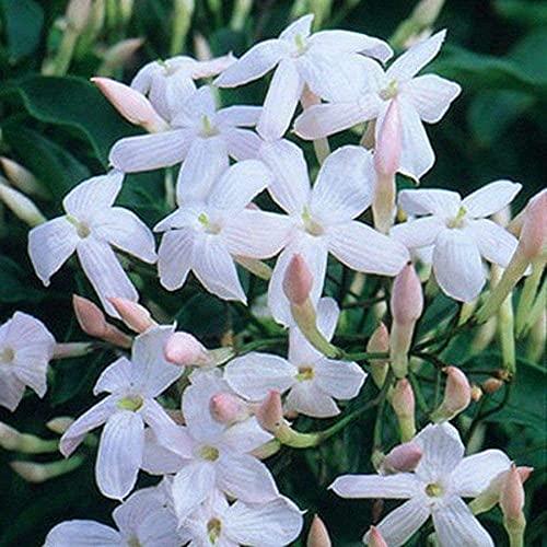 30 Stück Jasmin samen mit frischem Duft der das ganze Jahr über gepflanzt und geblüht wird und zum Pflanzen von Gärten verwendet wird
