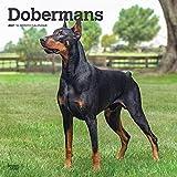 Dobermans - Dobermänner 2021 - 16-Monatskalender mit freier DogDays-App: Original BrownTrout-Kalender [Mehrsprachig] [Kalender] (Wall-Kalender)