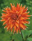 Kaktus Dahlien Color Spectacle Knolle Blumenzwiebel (1)