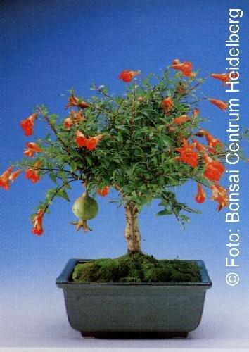 TROPICA - Granada enana (Punica granatum nana) - 50 semillas- Bonsai