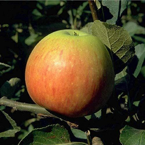James Grieve Apfelbaum Obstbaum 120-150...