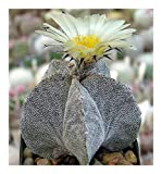 Astrophytum myriostigma v. potosinum - Kakteen - 15 Samen
