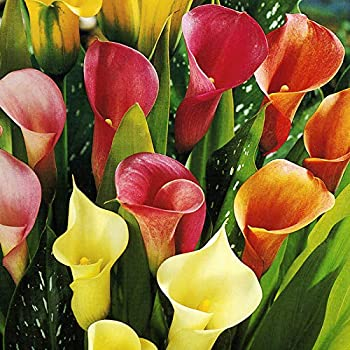 Mixed Calla Lilies Value Pack  5 Bulbs Per Package  - Bright Colors Red Orange Yellow Pink